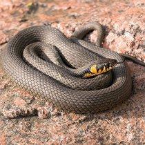 Уж змея рептилия. Желтые щеки на голове (отличительный знак)